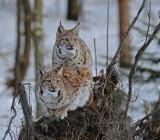 DSC_2020F lynx (Lynx lynx, Eurasian Lynx).jpg