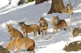DSC_3427 F wolf (Canis lupus).jpg