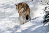 DSC_3629 F wolf (Canis lupus).jpg