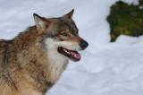 DSC_3850 wolf (Canis lupus).JPG