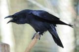 DSC_4372 raaf (Corvus corax).JPG