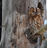 DSC_6555F bosuil (Strix aluco, Tawny Owl).jpg