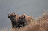 300_5805F wisent (Bison bonasus, European bison).jpg