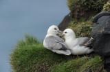 700_5966 noordse stormvogel (Fulmarus glacialis, Northern fulmar).JPG