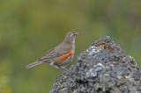 700_9632 F koperwiek (Turdus iliacus, Redwing).jpg