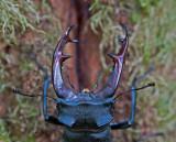 300_5422 vliegend hert (Lucanus cervus, Stag beetle).jpg