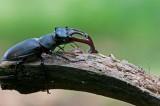 300_5467 vliegend hert (Lucanus cervus, Stag beetle).jpg