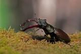 300_5538 vliegend hert (Lucanus cervus, Stag beetle).jpg