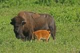 DSC00474F Amerikaanse bizon (Bison bison, American bison).jpg