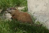 DSC00704 marmot (Marmota monax, woodchuck or groundhog).JPG