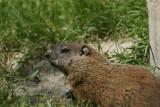 DSC00708 marmot (Marmota monax, woodchuck or groundhog).JPG
