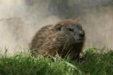 DSC00752 marmot (Marmota monax, woodchuck or groundhog).JPG