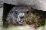 DSC00761F marmot (Marmota monax, woodchuck or groundhog).jpg