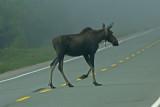 DSC06027F eland (Alces alces, Moose).jpg