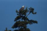 DSC06430 Amerikaanse zeearend (Haliaeetus leucocephalus, Bald Eagle).JPG