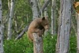 DSC08957F Amerikaanse zwarte beer (Ursus americanus).jpg