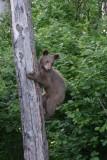 DSC09016 Amerikaanse zwarte beer (Ursus americanus, American Black Bear).JPG