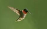 DSC09629F robijnkeelkolibrie (Archilochus colubris, ruby-throated hummingbird).jpg
