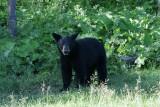 DSC09871 Amerikaanse zwarte beer (Ursus americanus, American Black Bear).JPG