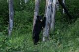 DSC09879 Amerikaanse zwarte beer (Ursus americanus, American Black Bear).JPG