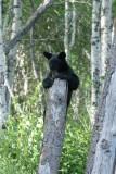 DSC09926 Amerikaanse zwarte beer (Ursus americanus, American Black Bear).JPG