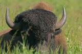 DSC00448F Amerikaanse bizon (Bison bison, American bison).jpg