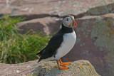 DSC05199F papegaaiduiker (Fratercula arctica, Atlantic puffin).jpg