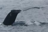 DSC06736 F bultrug (Megaptera novaeangliae, Humpback whale).jpg