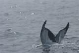DSC06741 bultrug (Megaptera novaeangliae, Humpback whale).JPG