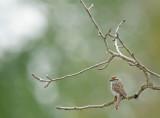 DSC09785F musgors (Spizella passerina, Chipping sparrow).jpg