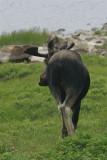 DSC05520 eland (Alces alces, Moose).JPG