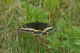 DSC06640F Short-tailed Swallowtail (Papilio brevicauda, Short-tailed swallowtail).jpg