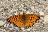 DSC09816 vlinder (Butterfly).JPG