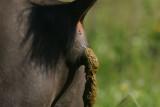 DSC00479 Amerikaanse bizon (Bison bison, American bison).JPG