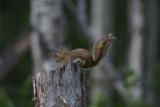 DSC09076 Amerikaanse rode eekhoorn (Tamiasciurus hudsonicus, American red squirrel).JPG