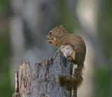 DSC09099F Amerikaanse rode eekhoorn (Tamiasciurus hudsonicus, American red squirrel).jpg