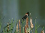 DSC08523F epauletspreeuw (Agelaius phoeniceus, Red-winged blackbird).jpg