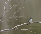 DSC07768F koningstiran (Tyrannus tyrannus,,Eastern kingbird).jpg