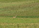 DSC00524F coyote (Canis latrans, Coyote).jpg