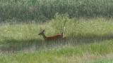 DSC00543F wit-staart hert  (Odocoileus virginianus,  White-tailed deer).jpg