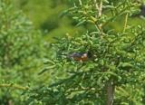 DSC05667F roodborstlijster (Turdus migratorius, American robin).jpg