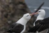 300_7083F wenkbrauwalbatros (Thalassarche melanophris,Black-browed albatross).jpg