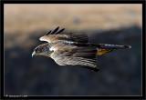 Vulture Eagle