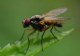 The regular sized fly - IMGP9993.jpg