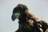 A young White-Tailed Eagle