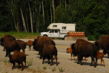 Bison, Liard Hot Springs Provincial Park