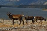 Caribou, Muncho Lake Provincial Park
