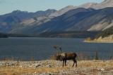 Caribou, Muncho Lake Provincial Par