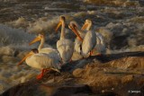 Pelicans on the Slave River Rapids, Fort Smith, NT