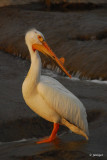 Pelican on the Slave River Rapids, Fort Smith, NT